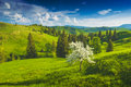 Apple tree on a green Carpathian meadow Royalty Free Stock Photo
