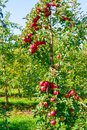 Apple tree with large red apples. Royalty Free Stock Photo