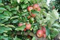 Apple tree in the old country Royalty Free Stock Photo