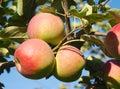 Apple tree orchard paula red Royalty Free Stock Photo