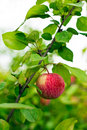 Apple tree in overgrown garden Royalty Free Stock Photo
