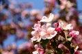 Apple tree pink flowers Royalty Free Stock Photo