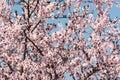 Apple Tree Pink Flowers Spring...