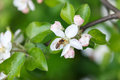 Apple Tree Pollinating