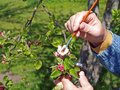 Apple tree pollination gardener making artificial by soft brush Stock Photography