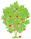 Apple tree with red ripe fruits vector illustration on a white background Stock Photo