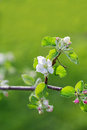 Apple tree shallow depth of field flowers Royalty Free Stock Images