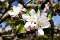 Apple tree spring flowers flowering in season closeup of in a branch Royalty Free Stock Images