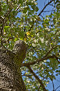 Apple tree view from below blue sky foliage trunk Royalty Free Stock Photography
