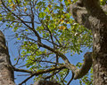 Apple tree view from below blue sky foliage trunk Royalty Free Stock Photo