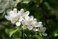 Apple tree white flowers Royalty Free Stock Photo