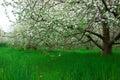 Apple trees Stock Photos