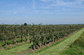 Apple trees with apples ln germany Stock Photos