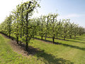 Apple trees in bloom Royalty Free Stock Photo