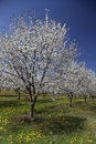 Apple trees in bloom blossoming lyndonville new york Stock Images