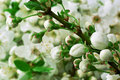 When apple trees bloom young white flowers in spring branch Royalty Free Stock Photos