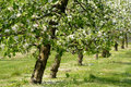 Apple trees in blossom Royalty Free Stock Photo