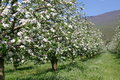 Apple trees in blossom picture of a Royalty Free Stock Photography