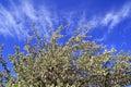 Apple trees blossom Royalty Free Stock Photo