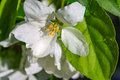 Apple trees flowers. the seed-bearing part of a plant, consisting of reproductive organs stamens and carpels