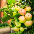 Apple trees  in the Garden during Autumn, UK Royalty Free Stock Photo