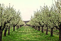 Apple trees a part of spring from romania garden Stock Image