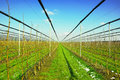 Apple trees in plantation with irrigation system Royalty Free Stock Photo
