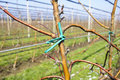 Apple trees in plantation with irrigation system Stock Photos