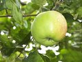 Apple with water droplets Royalty Free Stock Photo