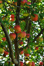 Apples apple tree branches full of Royalty Free Stock Images
