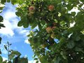 Apples autumn koster sweden red green trees Royalty Free Stock Photography
