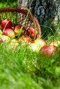 Apples in the Basket. Royalty Free Stock Images