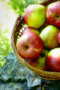Apples in the Basket. Royalty Free Stock Photo