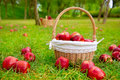 Apples in basket on a grass trees field Royalty Free Stock Photo