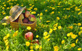 Apples in the basket healthy organic Royalty Free Stock Photo