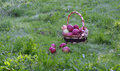 apples in a basket in  orchard early on the morning Royalty Free Stock Photo