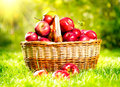 Apples in a basket organic outdoor orchard autumn garden Royalty Free Stock Images
