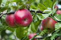Apples branch of apple tree with fruits stock image Stock Photography