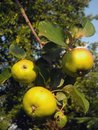 Apples on a branch yellow Stock Image