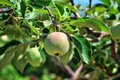 Apples on a branches Royalty Free Stock Photo
