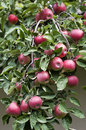 Apples branches of apple tree with fruits stock image Stock Photo