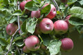 Apples branches of apple tree with fruits stock image Stock Images