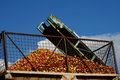 Apples conveyor belt agriculture themes Stock Photos