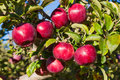 Apples fresh red empire on the tree in julian california Royalty Free Stock Photography