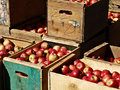 Apples freshly picked ready to ship Royalty Free Stock Photos