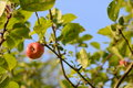Apples growing on an apple tree branch Royalty Free Stock Photo