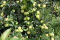 Apples growing on a tree Royalty Free Stock Photo
