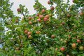 Apples growing on trees Royalty Free Stock Photo