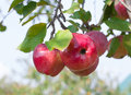 Apples grows on a branch red in the garden Stock Images
