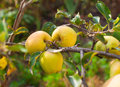 Apples grows on a branch yellowapples in the garden Stock Photos